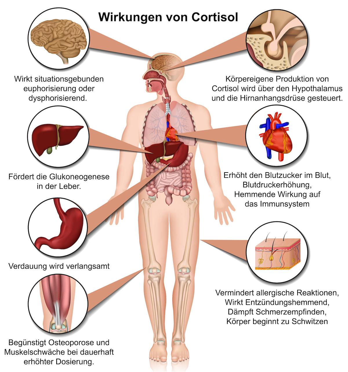Cortisol Wirkung - anatomisch - Nebennieren
